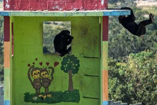 Chimpanzees play at the Great Apes Project (GAP), a sanctuary for apes in Sorocaba, some 100km west of Sao Paulo, Brazil