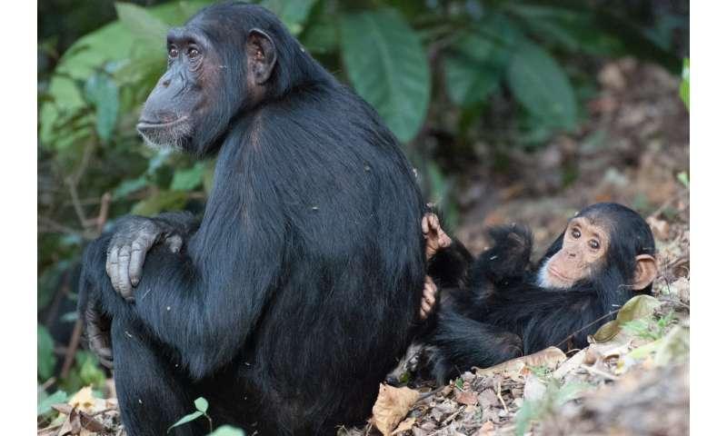 Chimp females who leave home postpone parenthood