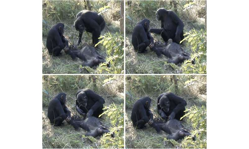 Chimp filmed cleaning dead son's teeth