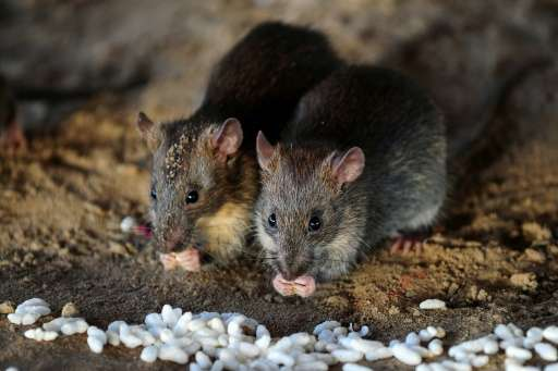 City officials say there is no scientifically accurate way to count the number of rats in New York, but SenesTech says four pair