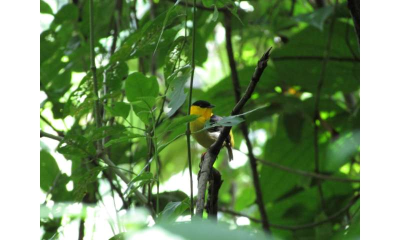 Cleanliness is next to sexiness for golden-collared manakins in Panama