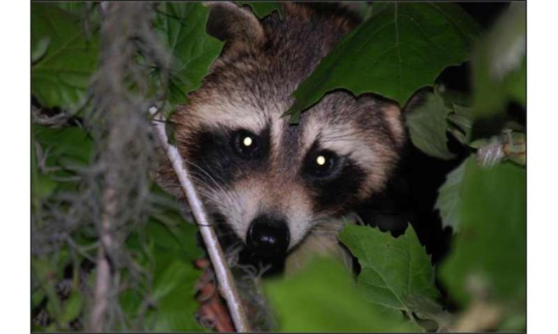Coal burning linked to toxic contaminants found in raccoons