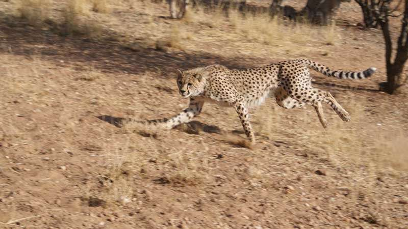Combining technology and ancient tracking could help save the cheetah