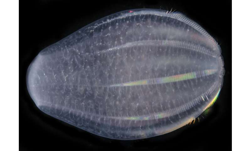 Comb jellies possibly first lineage to branch off evolutionary tree
