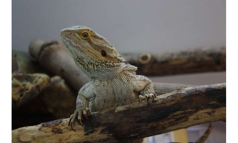 Cool lizards are better at learning socially