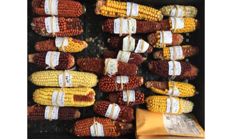 Corn genetics research exposes mechanism behind traits becoming silent