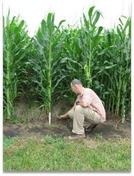 Corn with a cover of grass