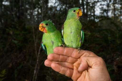 "Critically endangered Swift Parrots are under threat from squirrel-like ""sugar gliders"" in a battle for space in Austr"