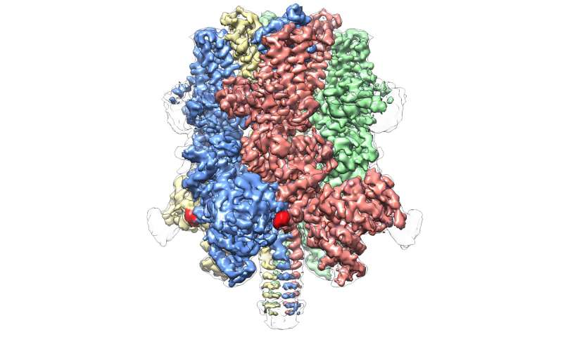 Cryo-EM reveals 'crown-like' structure of protein responsible for regulating blood flow