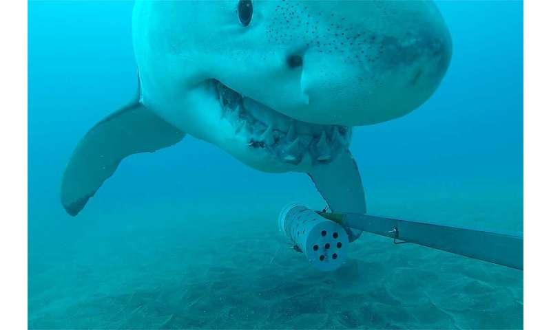 Curious great white shark plays with camera