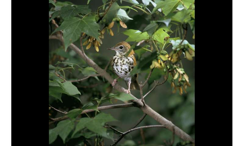 Declining baby songbirds need forests to survive drought