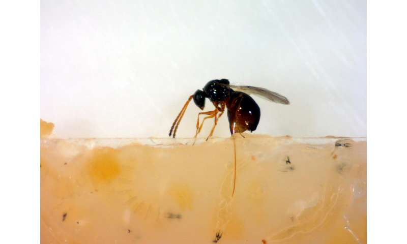 Defensive bacterial symbionts of fruit flies attack ribosomes of parasitic wasps