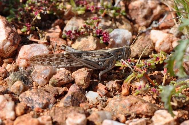 Desert locusts—new risks in the light of climate change