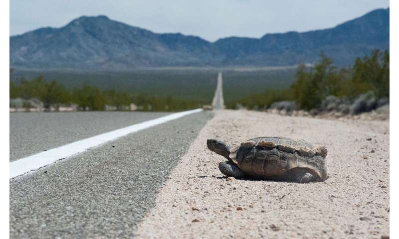 Desert tortoises can't take the heat of roadside fencing