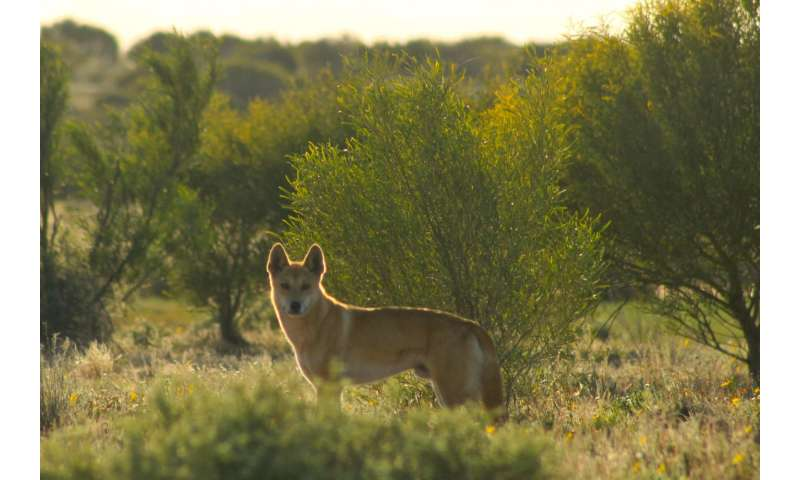 Dingo fence study shows dingo extermination leads to poorer soil