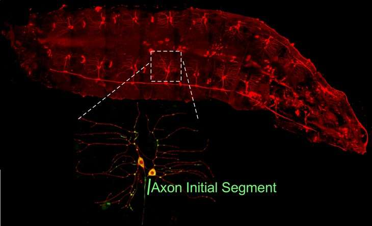 Discovery rewriting the evolutionary history of the nervous system