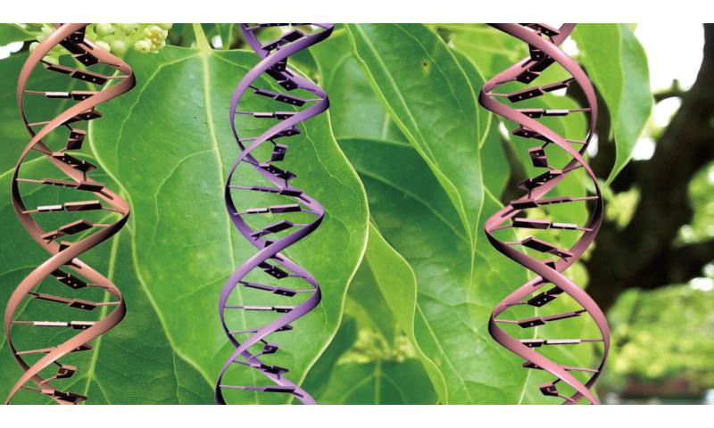 Disentangling chloroplast genetics