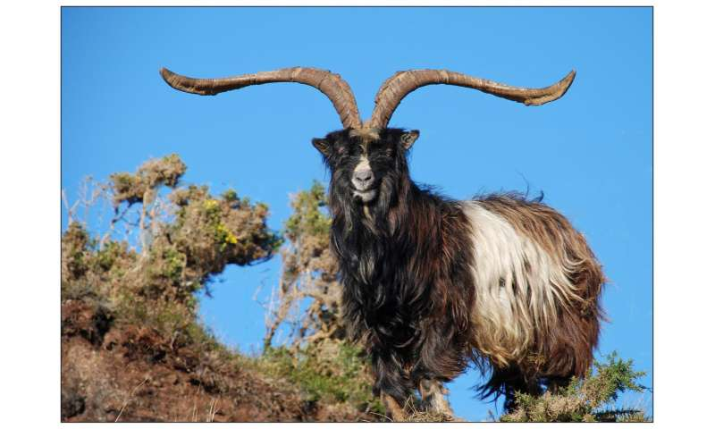 DNA from taxidermy specimens explains genetic structure of British and Irish goats