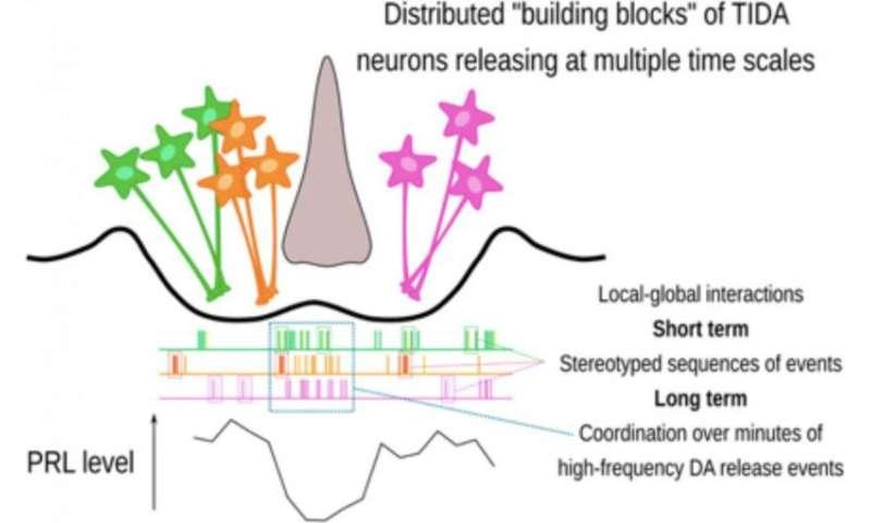 Dopamine control of prolactin secretion