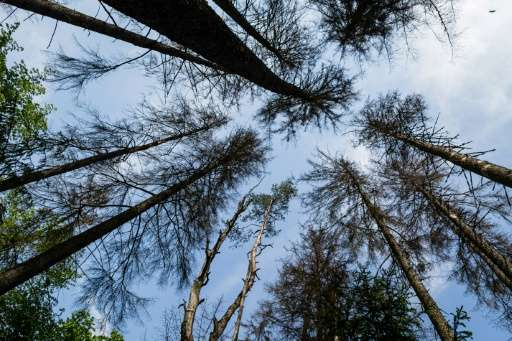 Dried out spruce trees are seen in primaval parts of Bialowieza Forest in 2016
