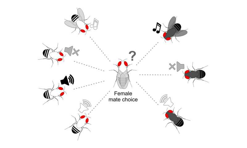 Drosophila buzzatii fruit fly females may use courtship songs to pick same-species mates