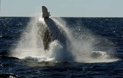 Each year humpback whales migrate north from the Antarctic to the warmer climate off Australia's coastline to mate and give birt