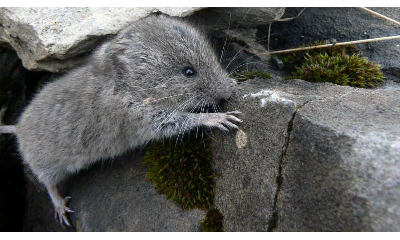 Early onset of winter triggers evolution towards smaller snow voles in Graubünden