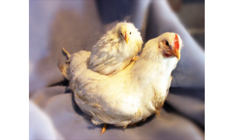 Eat more chicken: Scientists hone in on genetics behind chicken weight adaptation