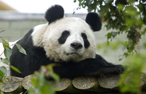 Edinburgh Zoo: panda Tian Tian won't give birth this year