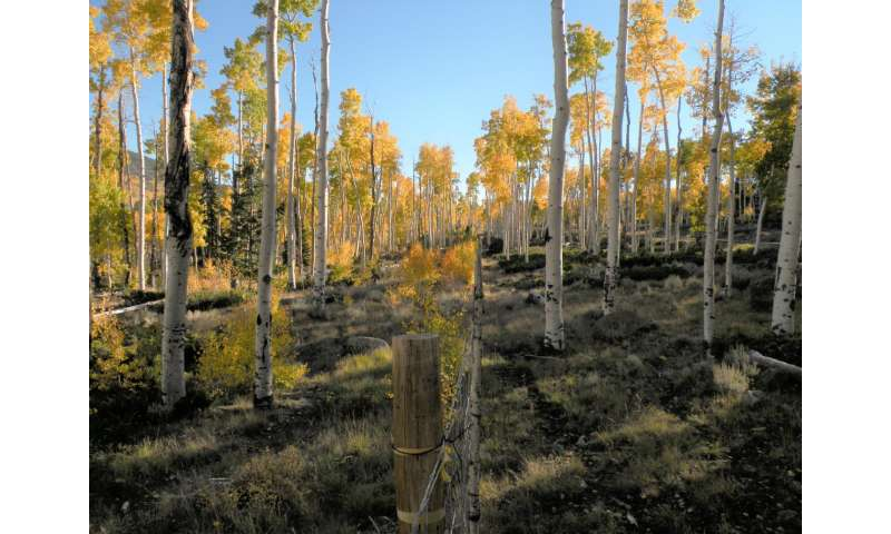 Efforts to restore imperiled Pando show promise says USU ecologist