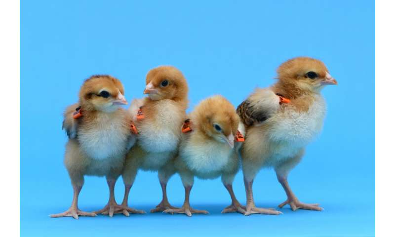 Egg-free surrogate chickens produced in bid to save rare breeds