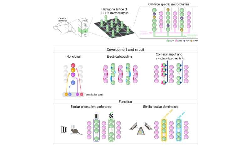 Elementary neural processing units that tile the mouse brain