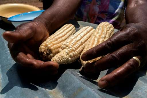 Essential for food security in large parts of Africa, maize is particularly vulnerable to the fall armyworm larvae, which burrow