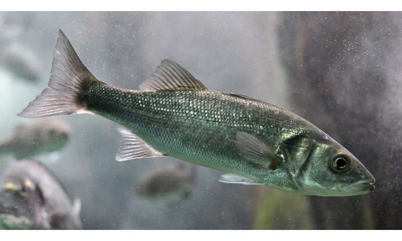 European sea bass show chronic impairment after exposure to crude oil