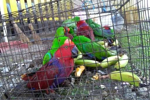 Exotic birds, like the eclectus parrots seen here, are usually poached and trafficked by smuggling gangs for sale as pets and as