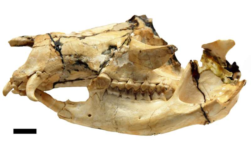 Fanged kangaroo research could shed light on extinction