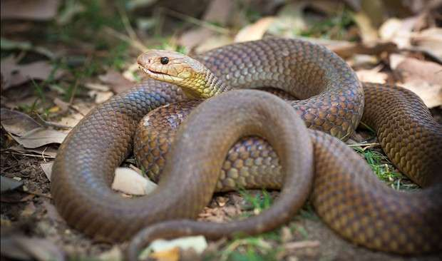 Fatal snake bites in Australia—facts, stats and stories