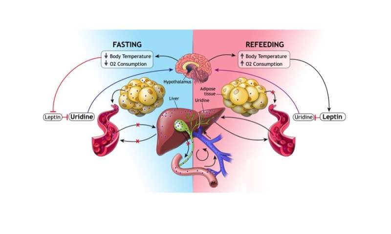 Fat cells step in to help liver during fasting