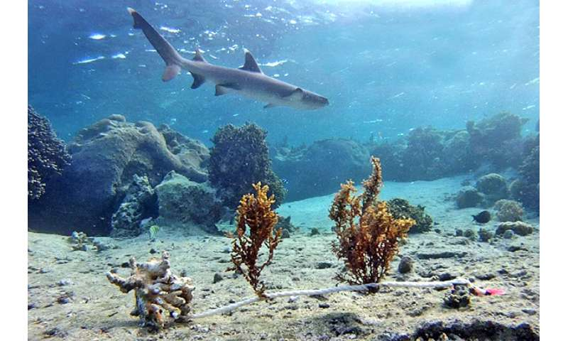Fear of sharks influences seaweed growth on Fijian coral reefs