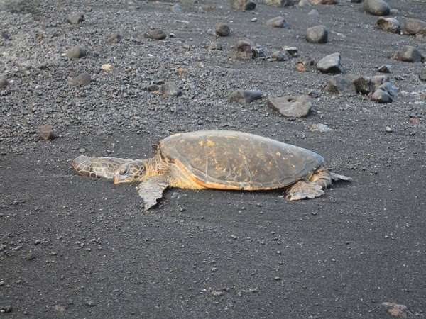 Feeding by humans alters behavior and physiology of green turtles in the Canary Islands