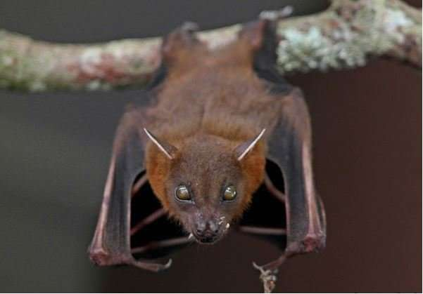 Feeding habit of Malaysian fruit bats