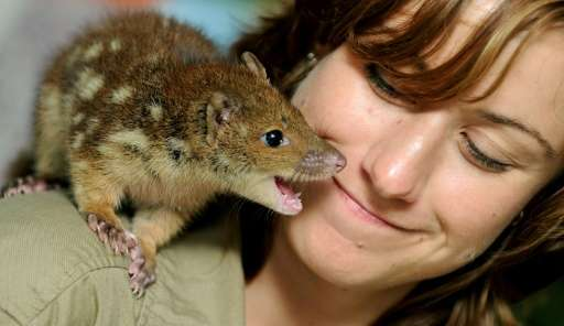 File photo taken on November 3, 2011 shows mammals keeper Kylie Hackshall getting close to a baby spotted-tail quoll at WILD LIF