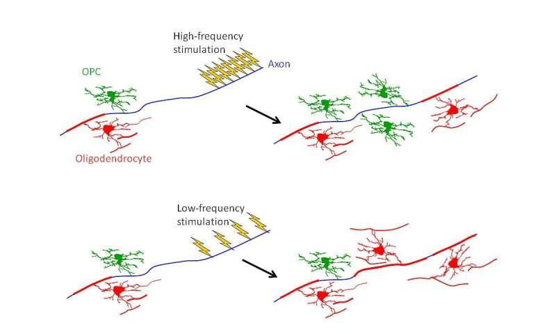 Firing of neurons changes the cells that insulate them