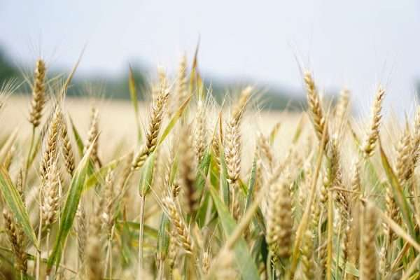 first genetic radiography of the wheat from 21 mediterranean