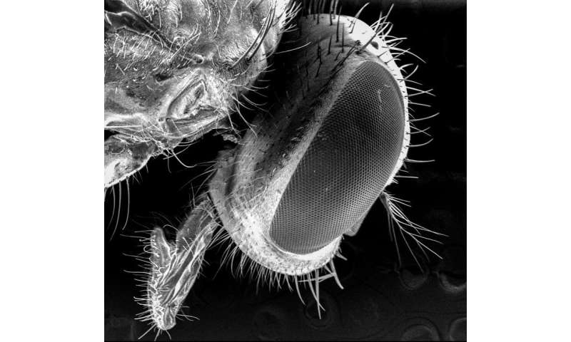 Flies' disease-carrying potential may be greater than thought, researchers say