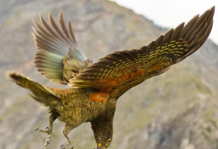 For this New Zealand parrot, 'laughter' is contagious