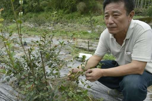 Taiwan's battle with betel nut addiction