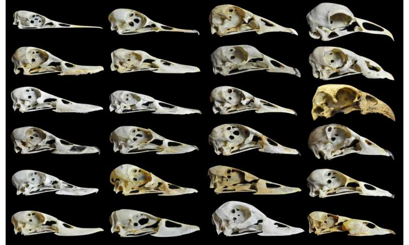 Fowl-mouthed study finds that diet shaped duck, goose beaks