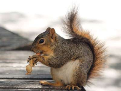 Fox squirrels use 'chunking' to organize their favorite nuts