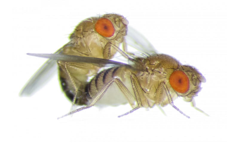 Drosophila melanogaster sex